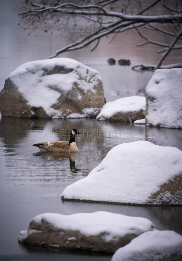 Peaceful scene with Canada goose swimming to nearby snow covered rocks. royalty free stock photography
