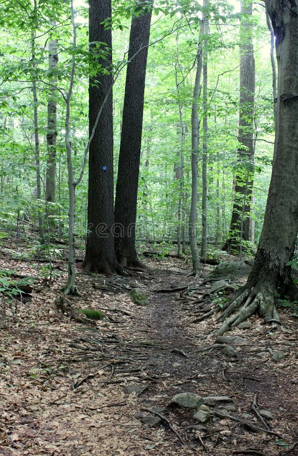 Peaceful woodsy scene with trees and well-worn path leading hikers towards the summit royalty free stock photo
