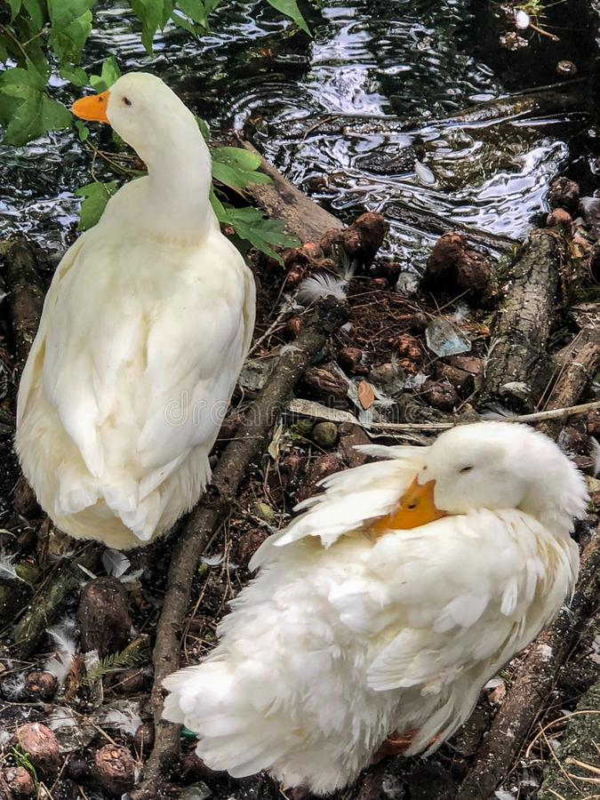 Two white ducks by water royalty free stock images
