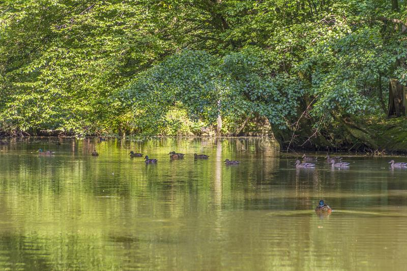 Wild ducks in idyllic park scenery stock image