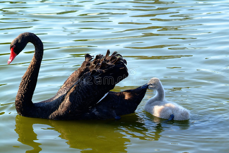 Peaceful Time For Mother Black Swan And Her Baby Stock Images