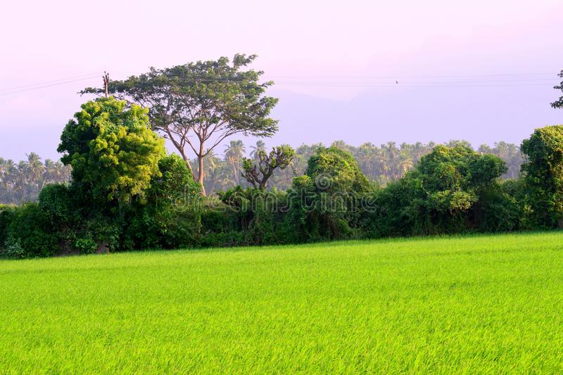Peaceful View of beautiful trees from a green Rice field in India royalty free stock photos