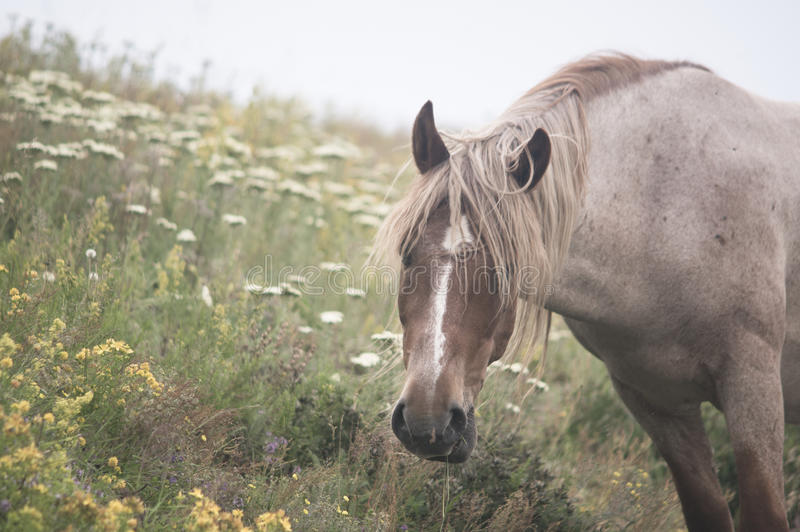 Peacefully grazing. Beautiful healthy young horse peacefully grazing his healthy diet of wild mountain flowers and herbs stock images