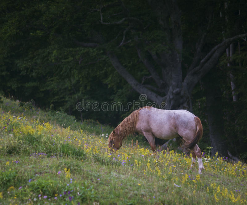 Peacefully grazing. Beautiful healthy young horse peacefully grazing his healthy diet of wild mountain flowers and herbs royalty free stock image