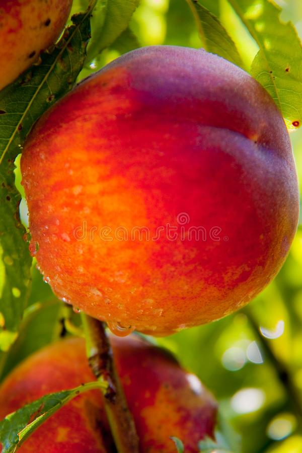 Free Peach Stock Photos - 12337793