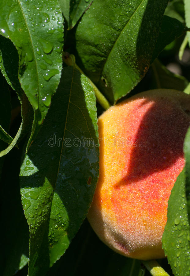 Download Peach Royalty Free Stock Photography - Image: 28991987