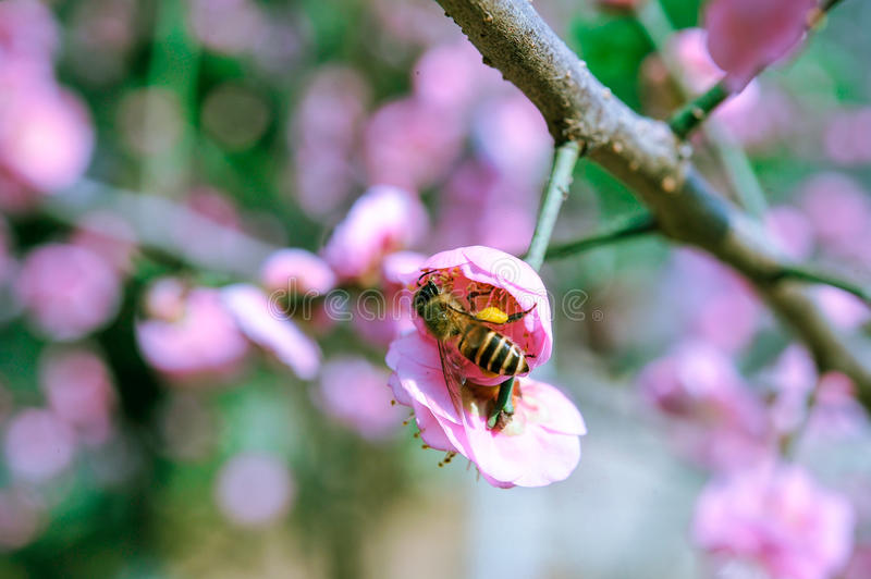 Peach and bees royalty free stock image