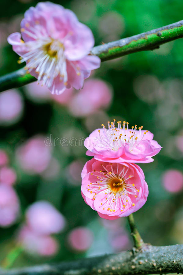 Peach and bees royalty free stock photos