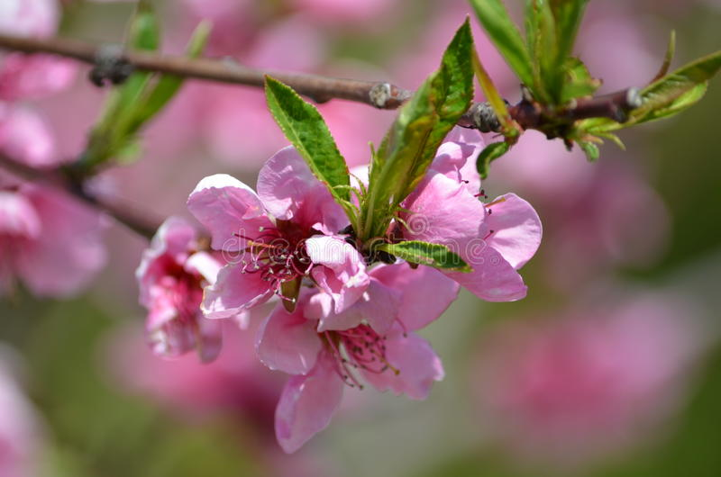 Peach bloom stock images