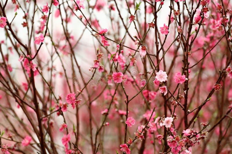 Peach blossom royalty free stock image