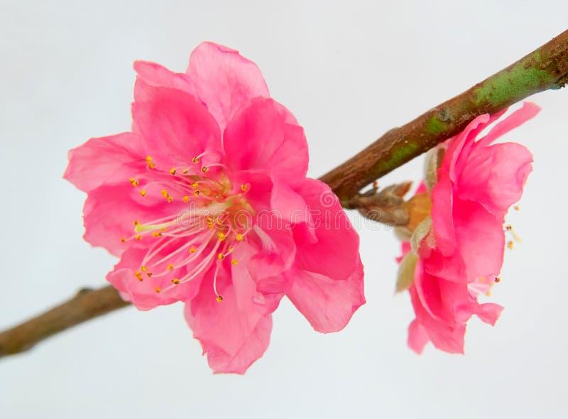 Peach Blossom royalty free stock photo