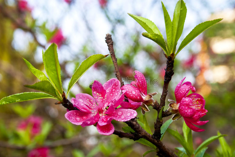 Download Peach blossom stock image. Image of flowers, water, plant - 13184245