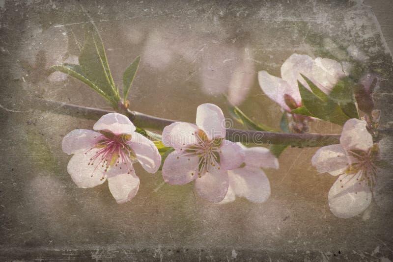 Download Peach blossom stock illustration. Illustration of aging - 21591400