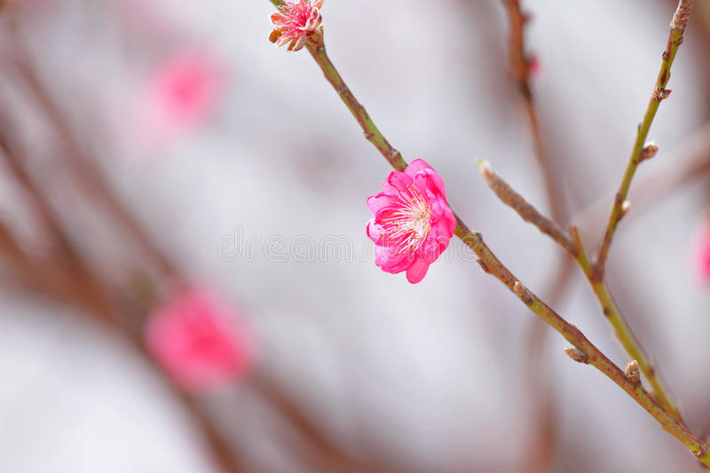 Download Peach blossom stock image. Image of asia, knot, festive - 22899289