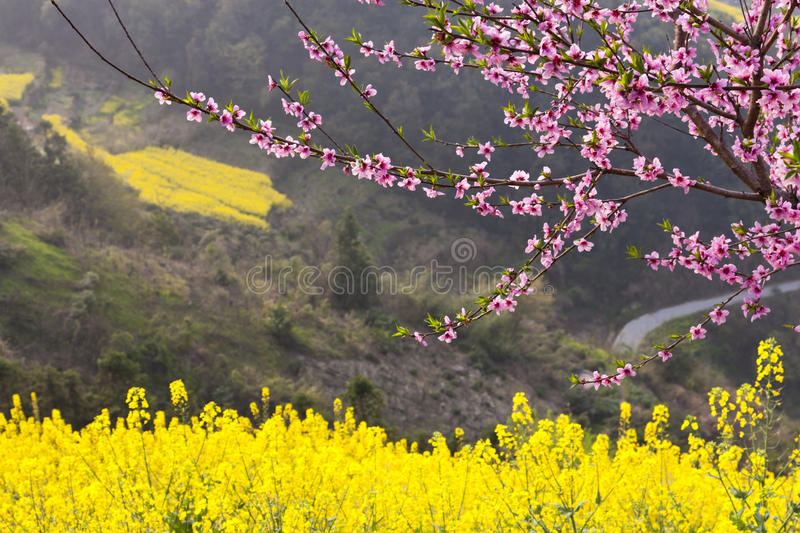 Download Peach blossom stock photo. Image of plant, oilseed, freshness - 24487378