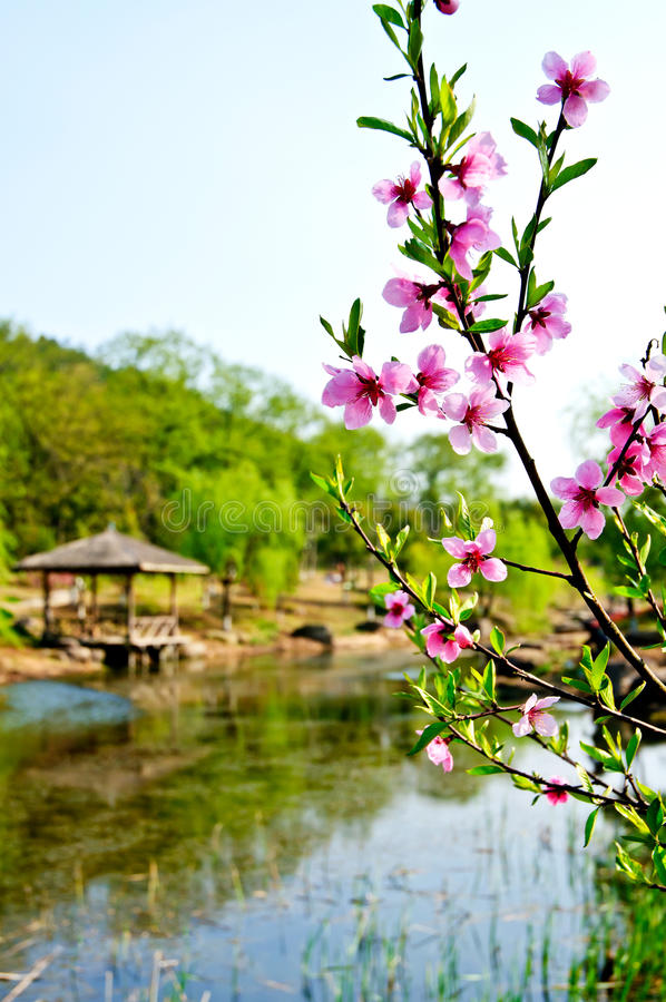 Download Peach blossom stock photo. Image of hangzhou, color, germination - 26164264