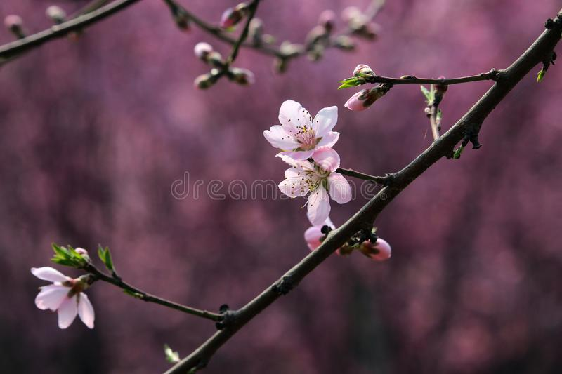 Peach blossom blooming in spring stock photos