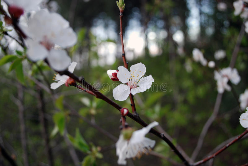 Peach blossom on a branch royalty free stock photography