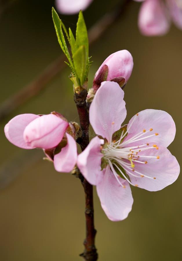 The peach blossom & Buds stock photo