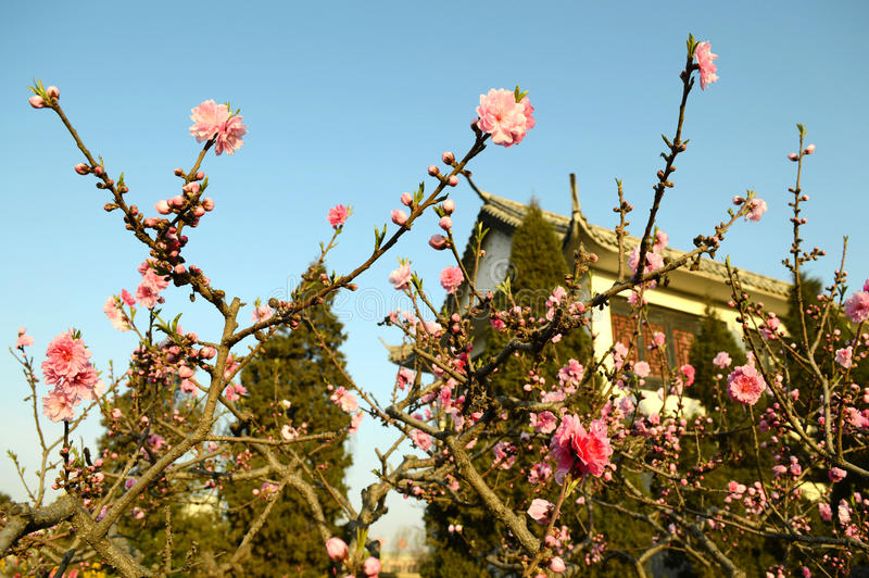 Download Peach blossom stock image. Image of peach, blue, building - 39509991