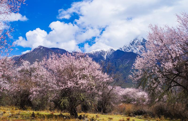 Peach blossom, fascinating spring of tibet royalty free stock photos