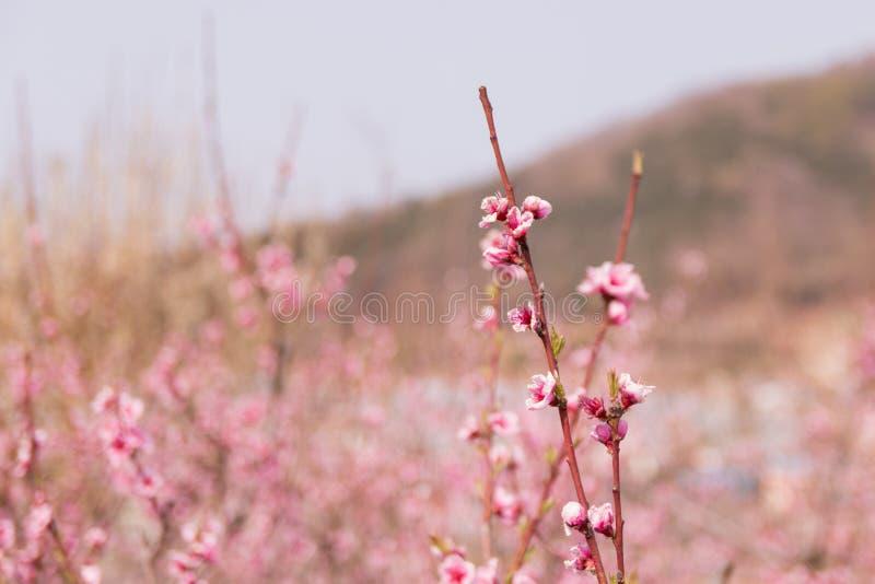 Peach blossom, peach flower, pink flower. Peach blossom on a spring say (peach flower, pink flower stock photography