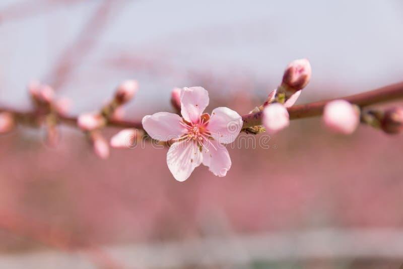 Peach blossom, peach flower, pink flower. Peach blossom on a spring say (peach flower, pink flower stock photos