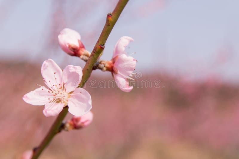 Peach blossom, peach flower, pink flower. Peach blossom on a spring say (peach flower, pink flower stock photo