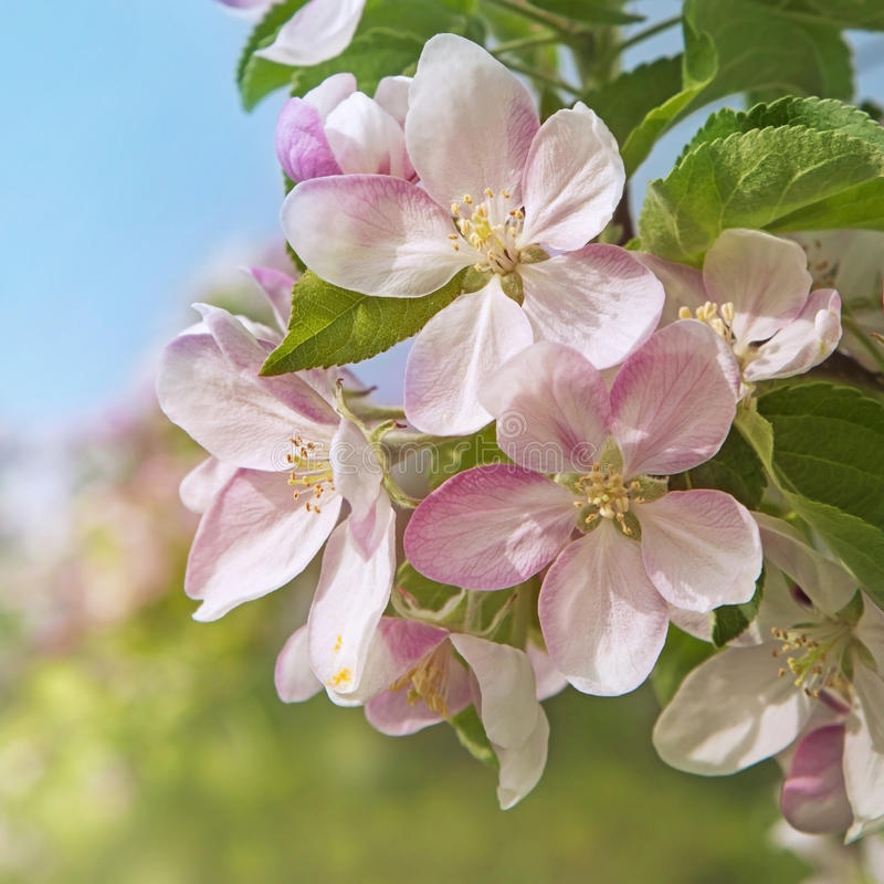 Download Peach Blossom Flowers Stock Images - Image: 30930574
