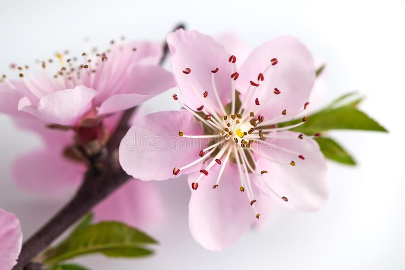 Peach blossom isolated on white background royalty free stock photos