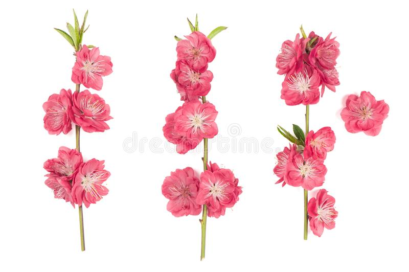 Peach blossom isolated white background Pink spring flowers stock images