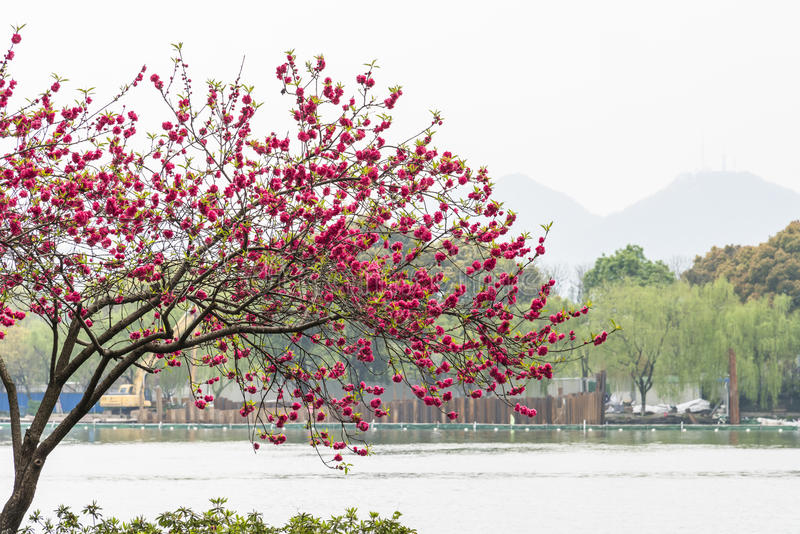 Peach blossom by the lake royalty free stock image