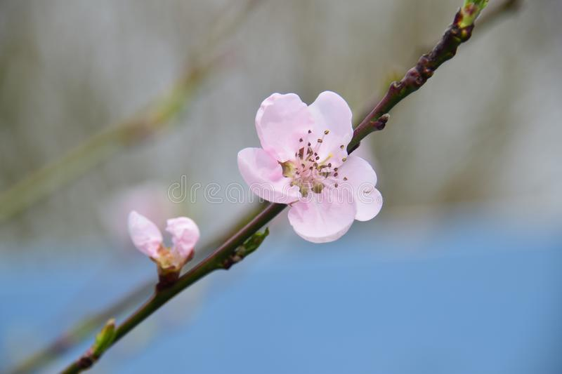 Peach blossom outside in the summer garden stock image