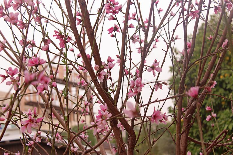 Peach blossom. Peach tree with beautiful pink peach flowers. stock photography