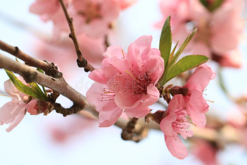 Peach blossom. Is a traditional garden flower in China. It is one of the important Flower-Watching trees in early spring because of its beautiful tree shape royalty free stock image