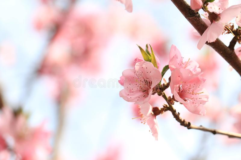 Peach blossom. Is a traditional garden flower in China. It is one of the important Flower-Watching trees in early spring because of its beautiful tree shape royalty free stock photography