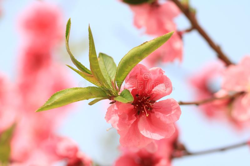 Peach blossom. Is a traditional garden flower in China. It is one of the important Flower-Watching trees in early spring because of its beautiful tree shape royalty free stock images
