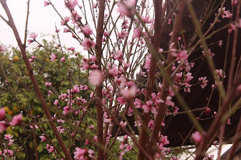 Peach blossom. Peach tree with beautiful pink peach flowers. royalty free stock image