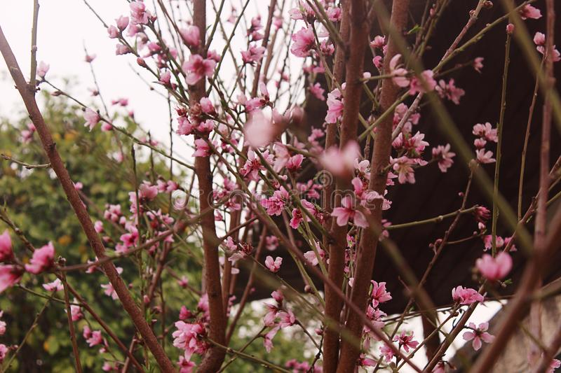 Peach blossom. Peach tree with beautiful pink peach flowers. royalty free stock images