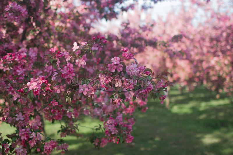 Peach in blossom, tree branches with pink flowers, springtime, sunny days stock photography
