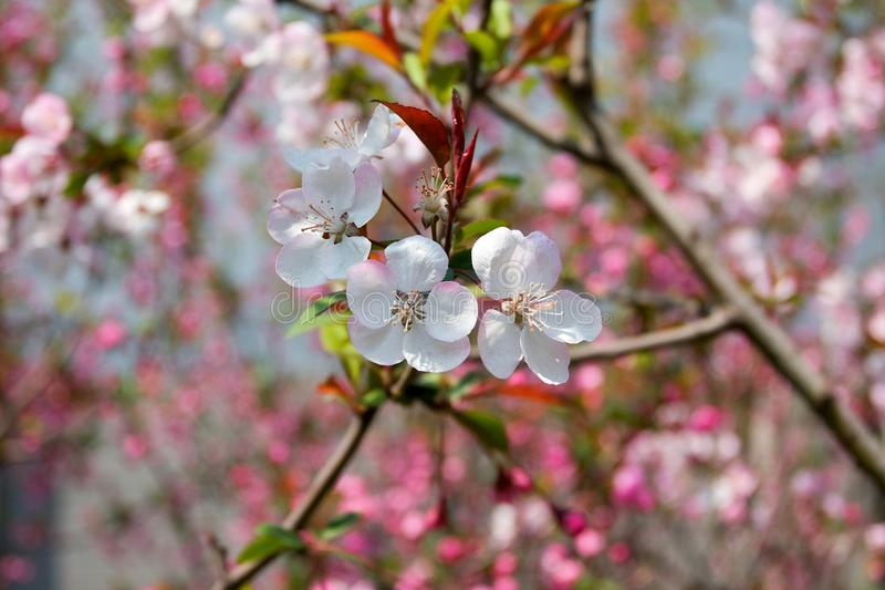Peach Blossoms Free Stock Image