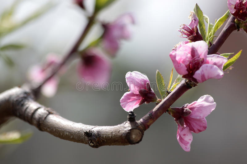 Download Peach blossoms stock photo. Image of botany, young, peach - 14988714