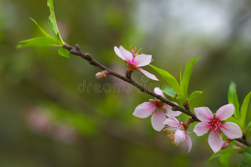 Download Peach blossoms stock photo. Image of ecology, environment - 6622396