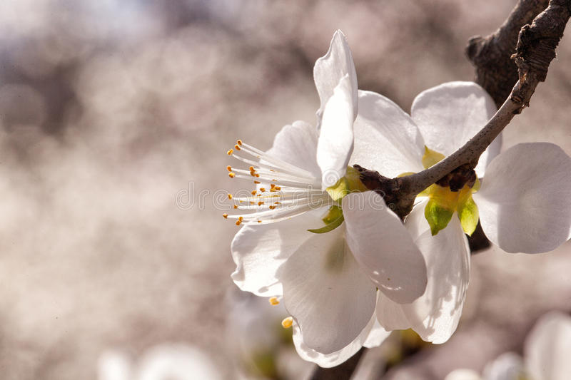 Peach blossoms. In Baihua Mountain against a backdrop stock photo