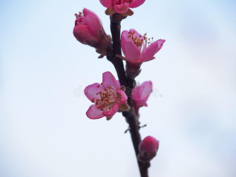 Pink Peach Blossoms-closeup stock photos