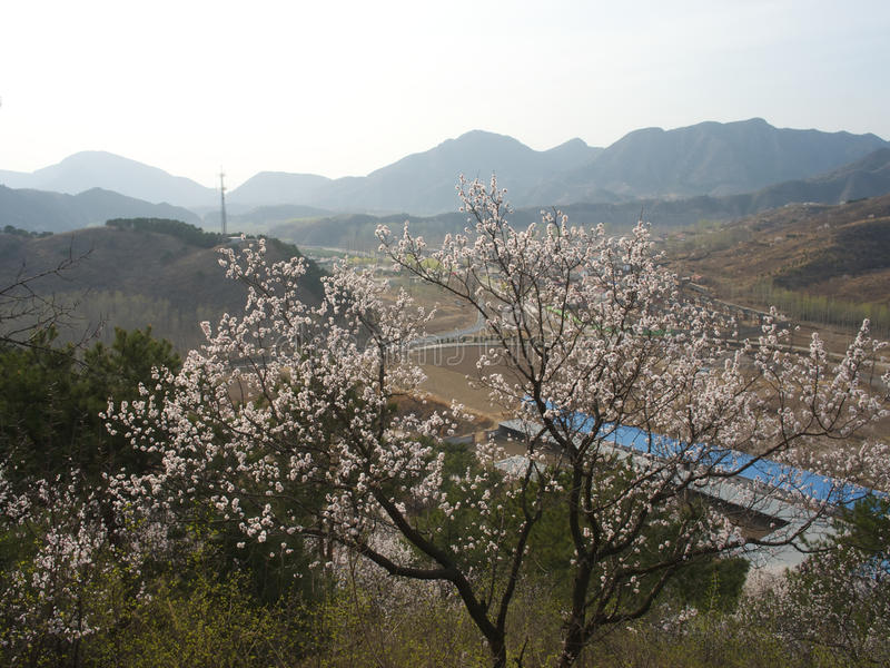 Download Peach blossoms stock image. Image of chinese, beautiful - 39793785
