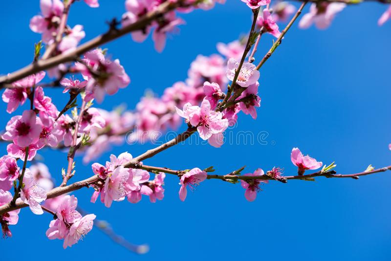 Peach blossoms in spring. stock photography