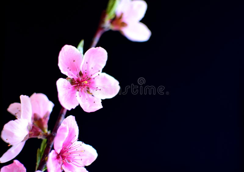 Peach blossoms in spring royalty free stock photography