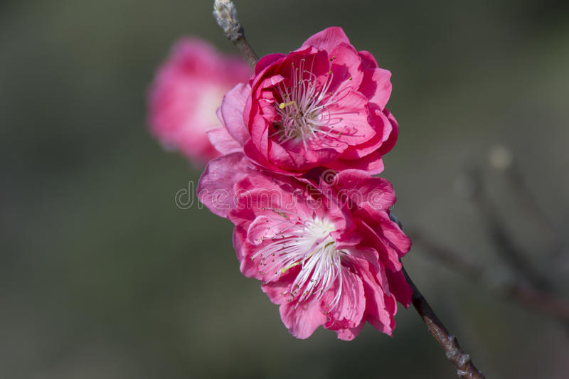 The peach blossoms stock images