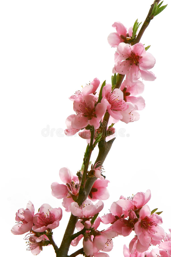 Download Peach branch with flowers stock image. Image of bloom - 4940897